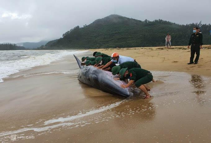Cá voi nặng 3 tấn bị sóng biển đánh vào bờ