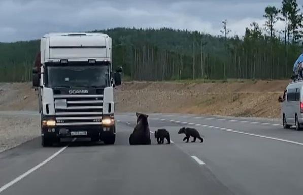 Gấu mẹ dẫn con ra đường cao tốc xin ăn ở Nga