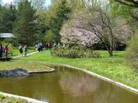Hoa anh đào nở rộ trong khu vườn Nhật bản ở Moscow