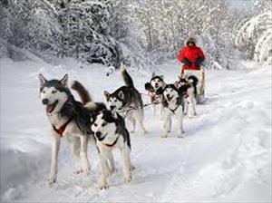 Dịch vụ chó Husky kéo xe trên tuyết nở rộ ở Nga