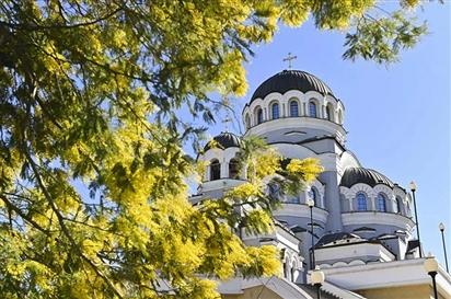 Sochi, mùa hoa mimosa nở rộ